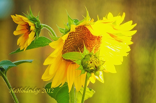 Sunflowers | by angellady9245
