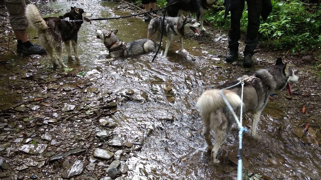 Ständig durstig: Die Huskies