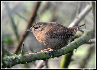 Wren | by dralun10