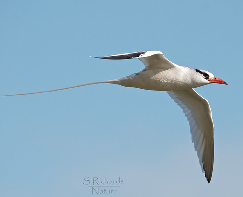 Red billed tropicbird | by Through The Big Lens