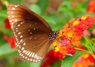 Common Indian Crow Butterfly, Euploea core Cramer on Lantana | by PL Tandon (Thanks for 4.6 Million+ views)