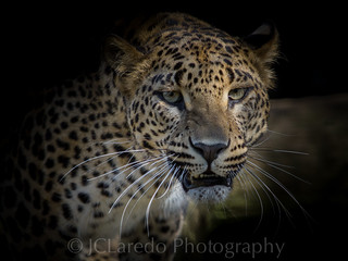 Leopardo de Sri Lanka | by JClaredo