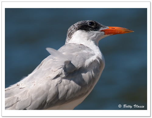 Tern | by Betty Vlasiu