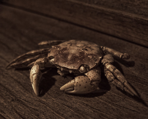 A Lil Crabby | by gimmeocean