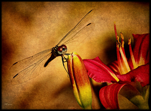 Lily And Dragonfly | by MEaves