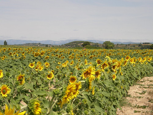 Field of Sunflowers | by Annie in Beziers