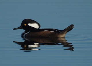 Hooded Merganser | by Mike's Birds