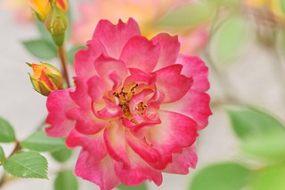 Rose 'Souvenir d'Anne Frank' raised in Belgium | by naruo0720