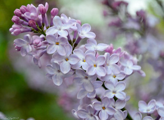 Lilac - April 2012 | by LisaDeyNJ