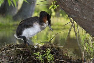 Grebe Climbing Onto Nest | by NZ Nature by Glenda Rees