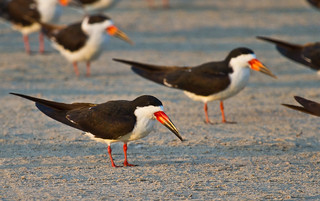 Black Skimmers | by Lindell Dillon
