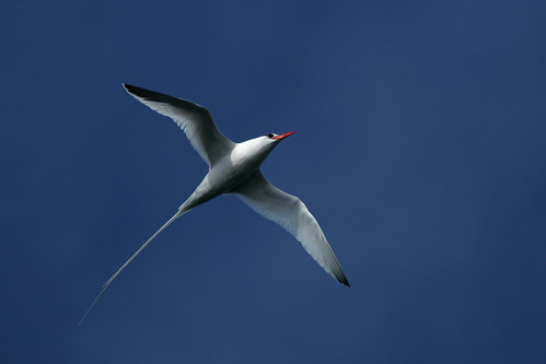 Red-billed Tropicbird | by Dave 2x