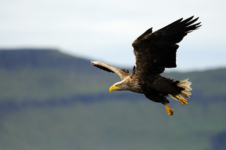 White-tailed eagle | by amylewis.lincs