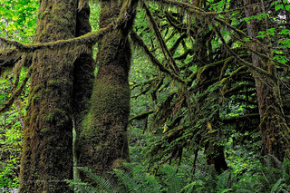 Temperate Rain Forest | by johnfuj