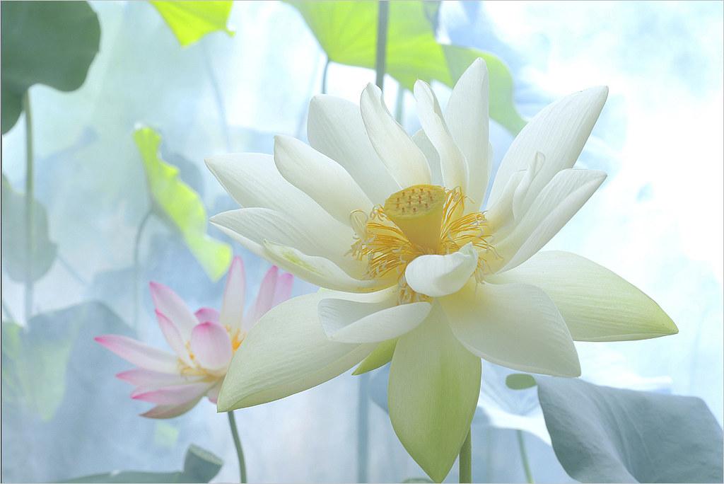 white lotus flower dda  white lotus flower  bahman, Beautiful flower