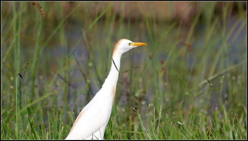 CATTLE EGRET | by cuatrok77