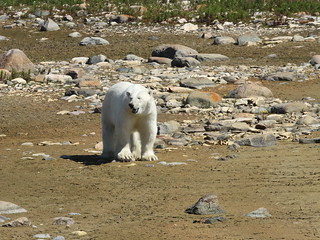 Polar Bear roaming the summer tundra | by J. Young Photos