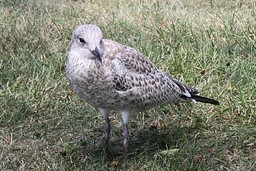 Female seagull - photo#30