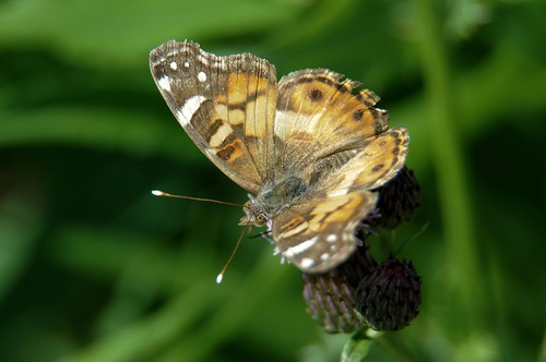 2012 Painted Lady (Vanessa cardui) 17 | by DrLensCap