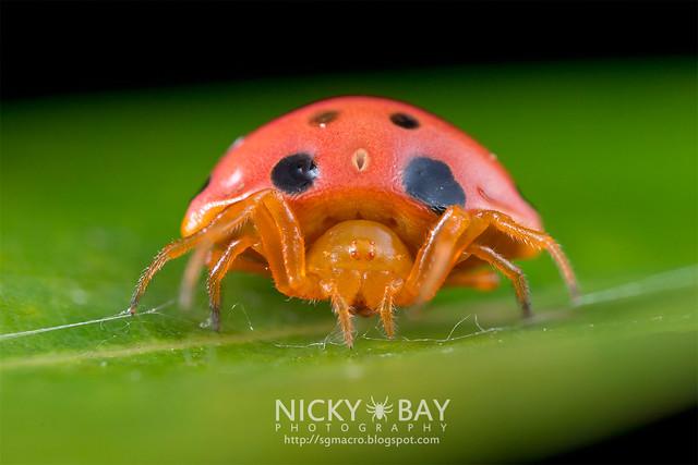 Ladybird-Mimic Spider (Paraplectana sp.) - DSC_8326