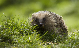 Hedgehog | by Craig 2112