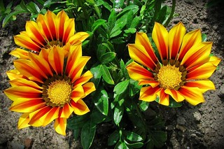 three gazanias :) | by green_lover