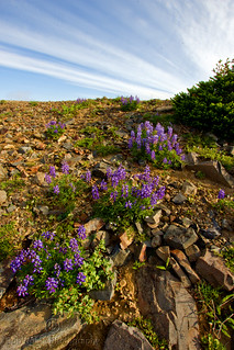 Subalpine Lupine Wild Flowers, Sourdough Ridge Trail, Mount Rainier National Park | by Bob Noble Photography