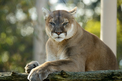 Cougar Posed | by Eric Kilby