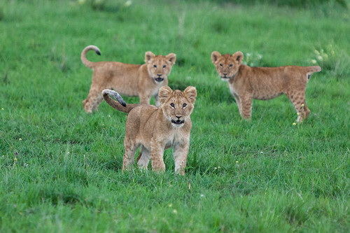 Lion cubs | by Matt Biddulph