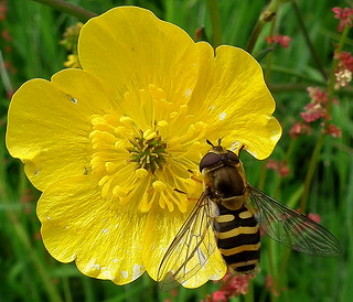 Fuji FinePix HS10-HS11.Super Macro.Small Hoverfly On A Buttercup Flower.July 4th 2012. | by Blue Melanistic.Twelve Million Views.