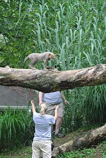 Cheetah Cubs Explore Their Yard at the Smithsonian's National Zoo | by Smithsonian's National Zoo