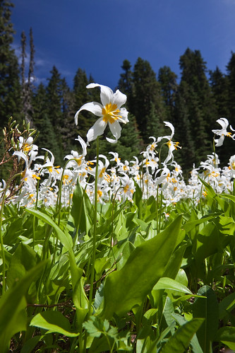 White Avalanche Lily Blooming in Cascades near Mount Rainier | by Lee Rentz