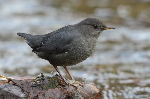 American Dipper | by corvidaceous