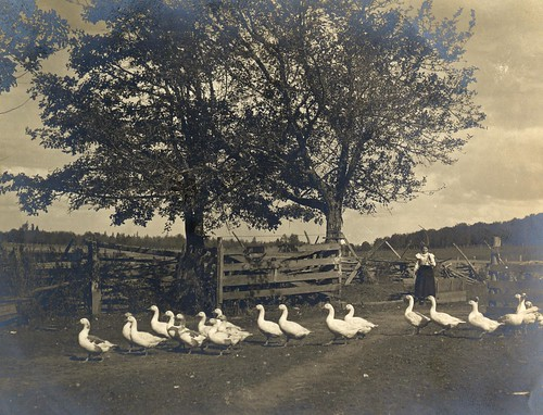 Ducks crossing barnyard, circa 1905 | by OSU Special Collections & Archives : Commons
