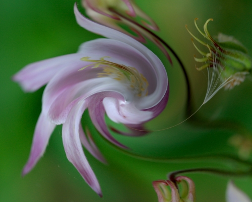 columbine swirls | by JanUpClose