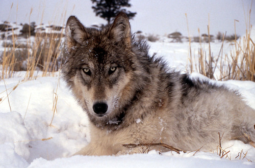gray wolf | by U.S. Fish and Wildlife Service - Midwest Region