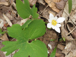 Bloodroot | by Cranbrook Institute of Science