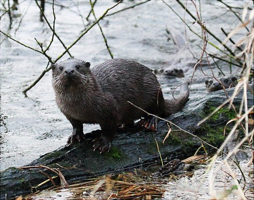 otter on log with two more behind... | by >*Jan*<