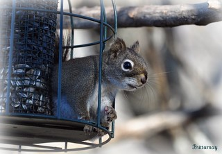 Na-Na, Na-Na Boo Boo!! Some squirrel proof feeder you've got here lady :P | by Brittamay
