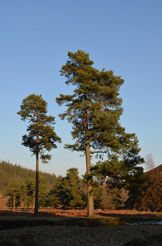 030212-two-pines | by treeblog