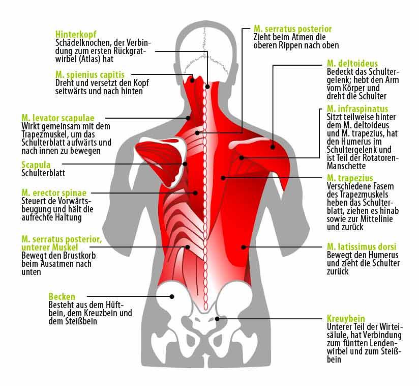 Anatomie der Rückenmuskulatur | Anatomie der Rückenmuskulatu… | Flickr