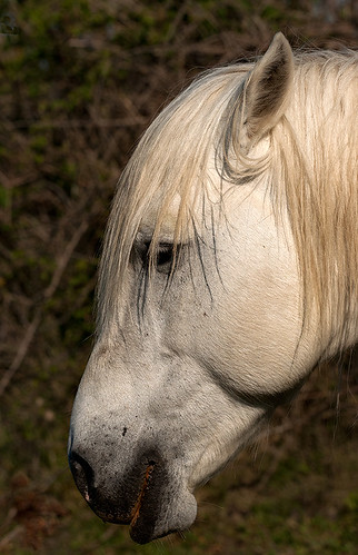 Close-up of Head of Camargue Horse in Profile | by John Hallam Images