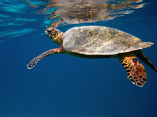 Sea turtle, Mirihi house reef, Maldives | by `antonka