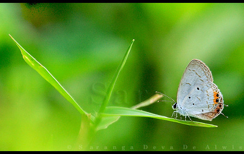 Butterflies of  Sri Lanka, Species No 58 | by Sara-D