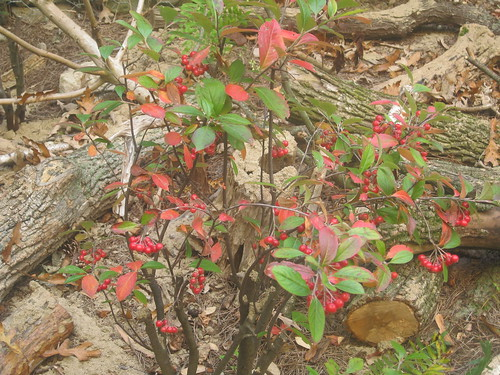 Michigan Holly | by Cranbrook Institute of Science