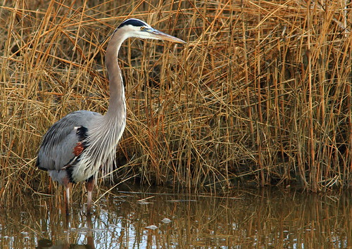 Great Blue Heron | by Inland Bay Photography