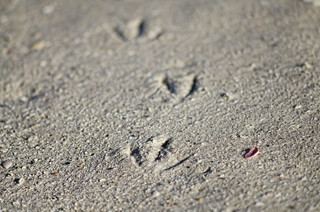Seagull footprints in the sand | by Eric Reichbaum