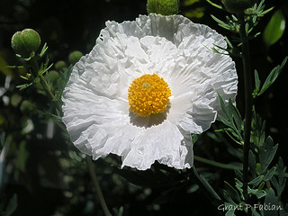 Romneya Coulteri (Not an Egg Plant) | by The Open Wall (Grant)