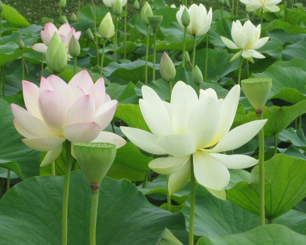 Pink And White Lotus Flowers Monceau Flickr