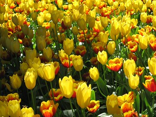 Araluen National Park..tulips | by heather_lss